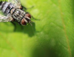ハエ:都会に住むのハエの特徴・益虫と害虫の観点から